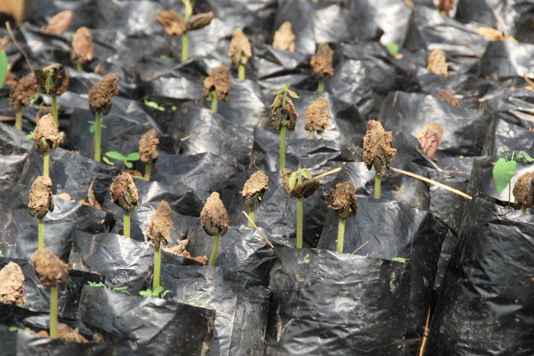 Cocoa Seedlings, World Cocoa Foundation