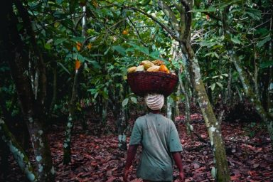 A smallholder cocoa farmer gathering her harvest. Photo by Wilma J. Blaser.