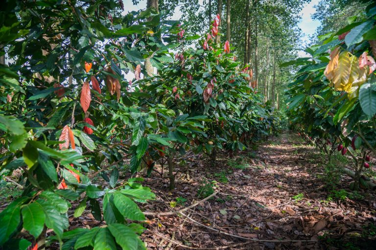 Photo by CasaLuker Sustainability, cocoa sustainability, sustainable cocoa, why is sustainability important, sustainability defined, sustainability movement, cocoa plant, cocoa bean, cacao, raw cacao, deforestation, what is deforestation