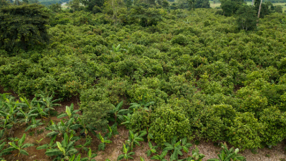 Sustainably farmed cocoa pods in West Africa Sustainability, cocoa sustainability, sustainable cocoa, why is sustainability important, sustainability defined, sustainability movement, cocoa plant, cocoa bean, cacao, raw cacao, deforestation, what is deforestation cacao cocoa farm aerial view forests