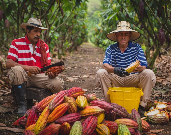 Sustainable cocoa pod breaking by cocoa farmers on a cocoa farm in Colombia