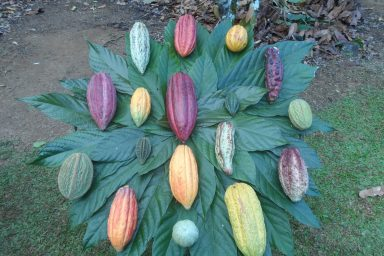 Climate Smart Cocoa needs biodiversity of cocoa