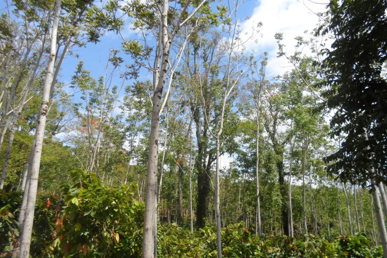 Cocoa timber agroforestry fetches reforestation incentive in Costa Rica