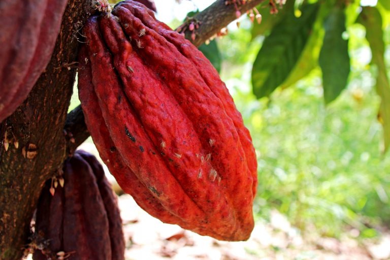 WRI – Peru_Amazon_Buffer_Zone_Agroforestry_Produce_Tree_Cocoa_2