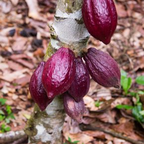 Sustainability, cocoa sustainability, sustainable cocoa, why is sustainability important, sustainability defined, sustainability movement, cocoa plant, cocoa bean, cacao, raw cacao, deforestation, what is deforestation