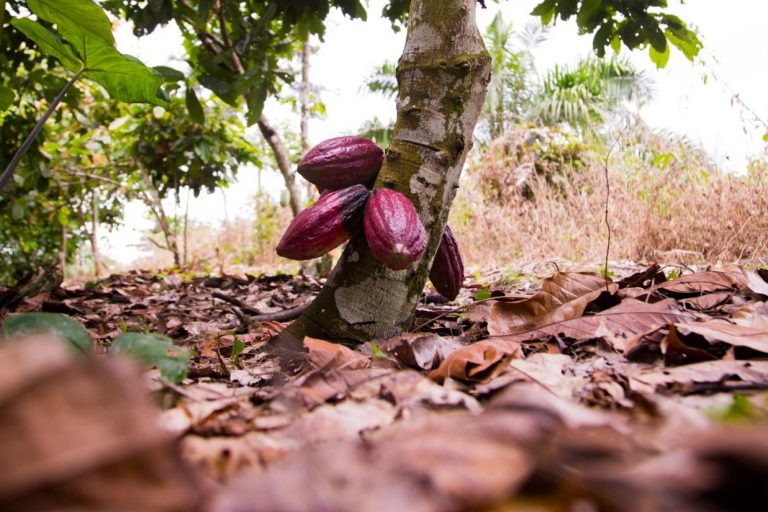 cocoa tree with purple pods