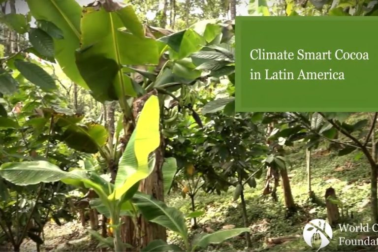 Sustainably farmed cocoa pods in West Africa Sustainability, cocoa sustainability, sustainable cocoa, why is sustainability important, sustainability defined, sustainability movement, cocoa plant, cocoa bean, cacao, raw cacao, deforestation, what is deforestation climate smart cocoa csc Latin America America latino sustainability forests cocoa cacao