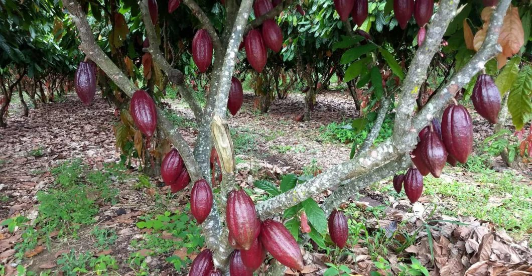 Sustainable cocoa tree in Brazil