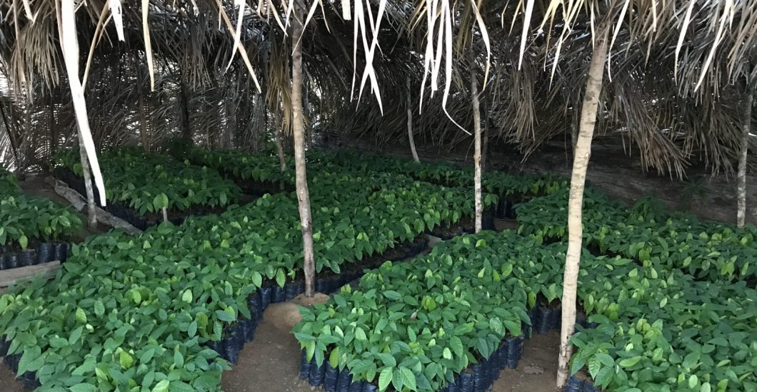 cocoa plants cacao plants made with sustainable cocoa