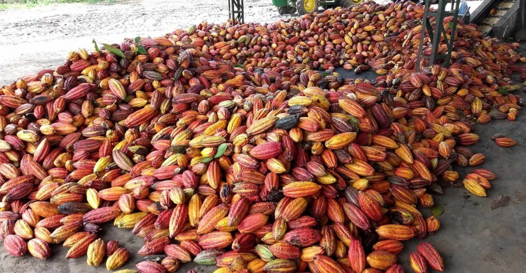 Sustainably farmed cocoa pods in West Africa Sustainability, cocoa sustainability, sustainable cocoa, why is sustainability important, sustainability defined, sustainability movement, cocoa plant, cocoa bean, cacao, raw cacao, deforestation, what is deforestation Recently harvested sustainable cocoa in Brazil