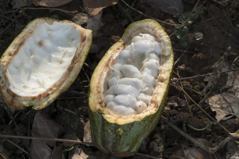 Sustainably farmed cocoa pods in West Africa Sustainability, cocoa sustainability, sustainable cocoa, why is sustainability important, sustainability defined, sustainability movement, cocoa plant, cocoa bean, cacao, raw cacao, deforestation, what is deforestation Sustainably farmed cocoa pods in West Africa Sustainability, cocoa sustainability, sustainable cocoa, why is sustainability important, sustainability defined, sustainability movement, cocoa plant, cocoa bean, cacao, raw cacao, deforestation, what is deforestation