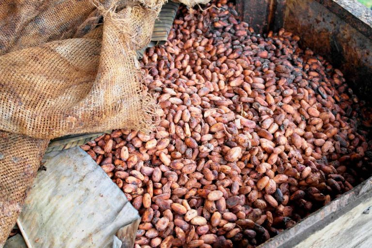 Sustainability, cocoa sustainability, sustainable cocoa, why is sustainability important, sustainability defined, sustainability movement, cocoa plant, cocoa bean, cacao, raw cacao, deforestation, what is deforestation Sustainably farmed cocoa beans during fermentation process