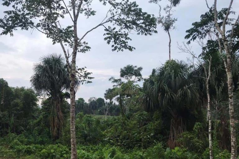 Amazonian sustainable cocoa farm landscape