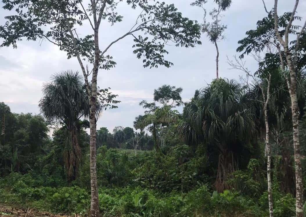 Amazonian sustainable cocoa farm landscape