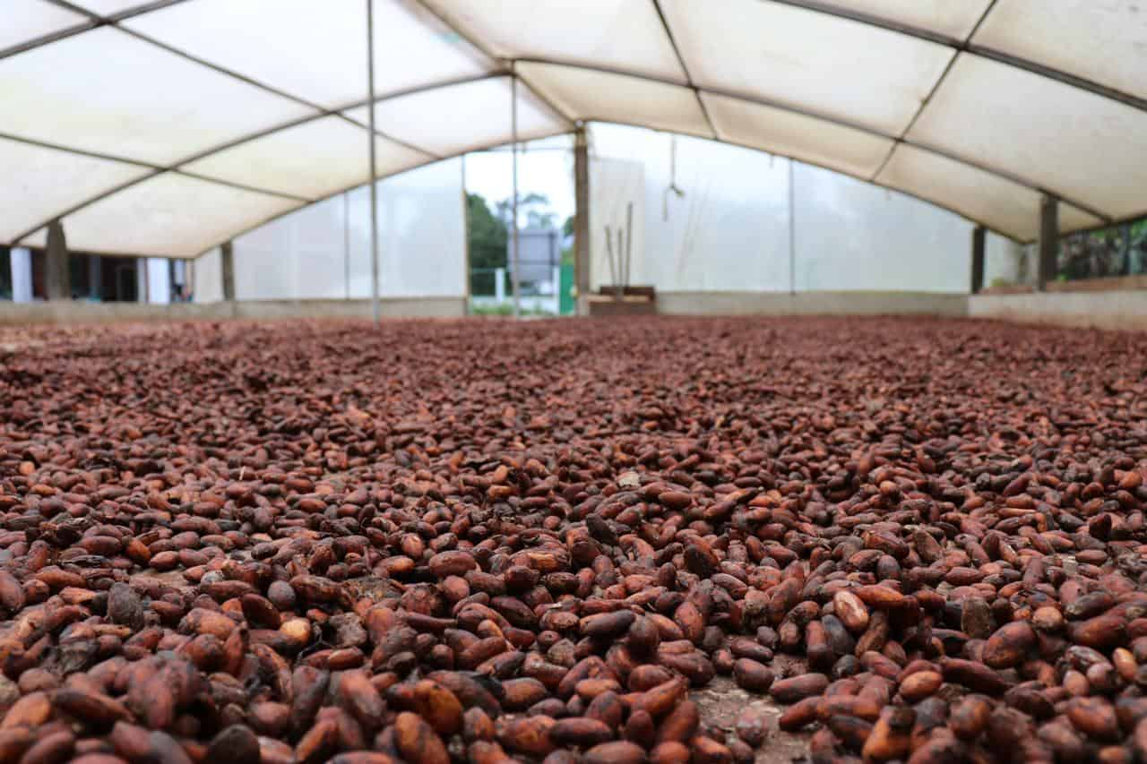Sustainable cocoa beans drying process in Sucumbios province in Ecuador