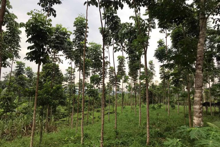 Agroforestry system combining cocoa and timber production in Orellana province in Ecuador