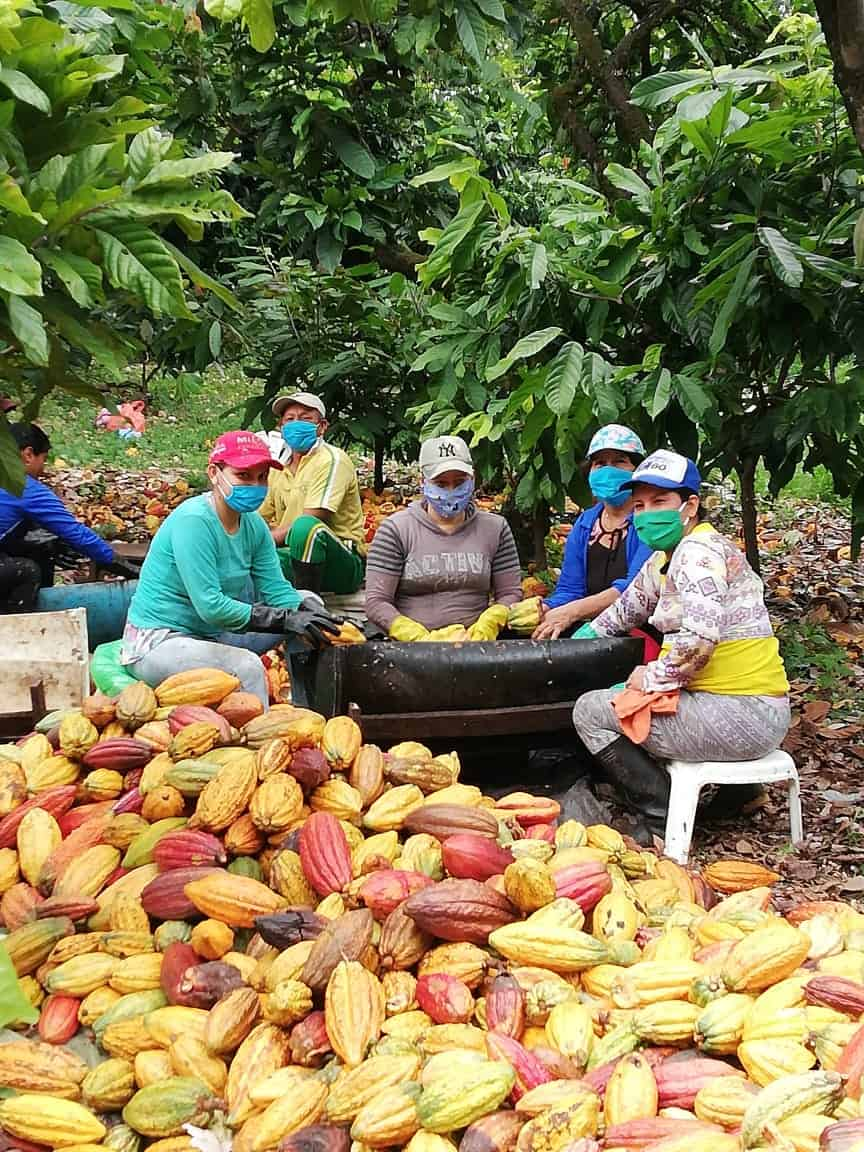 Sustainable cocoa pods, cocoa farmers wearing masks during COVID-19