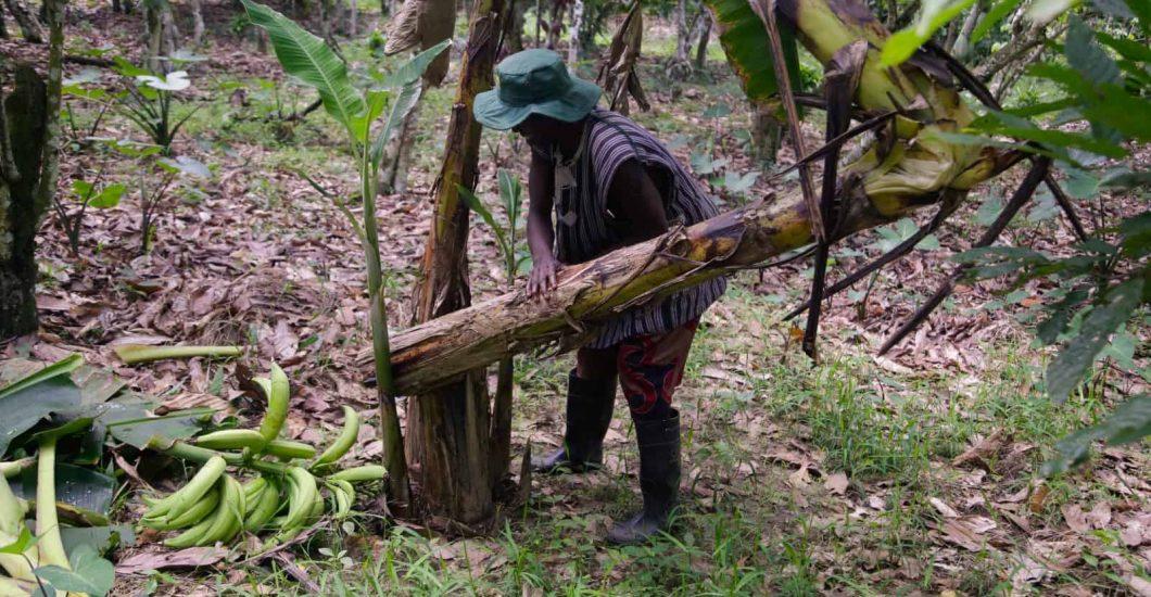 Cocoa farmer Daniel Donyo clears up a dead plantain on his farm in Koforidua, Ashanti region, Ghana