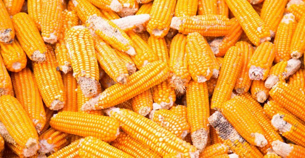 Maize is drying on cocoa farmer Oscar Cobina's farm in Humjibre, Ghana's Western North region