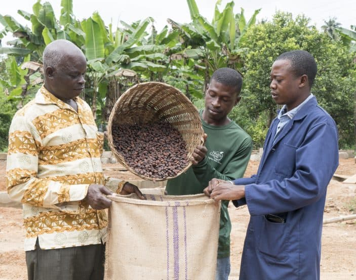 Sustainable cocoa farmers put dried and fermented sustainable cocoa into jute sacks to sell to buyers in Ghana