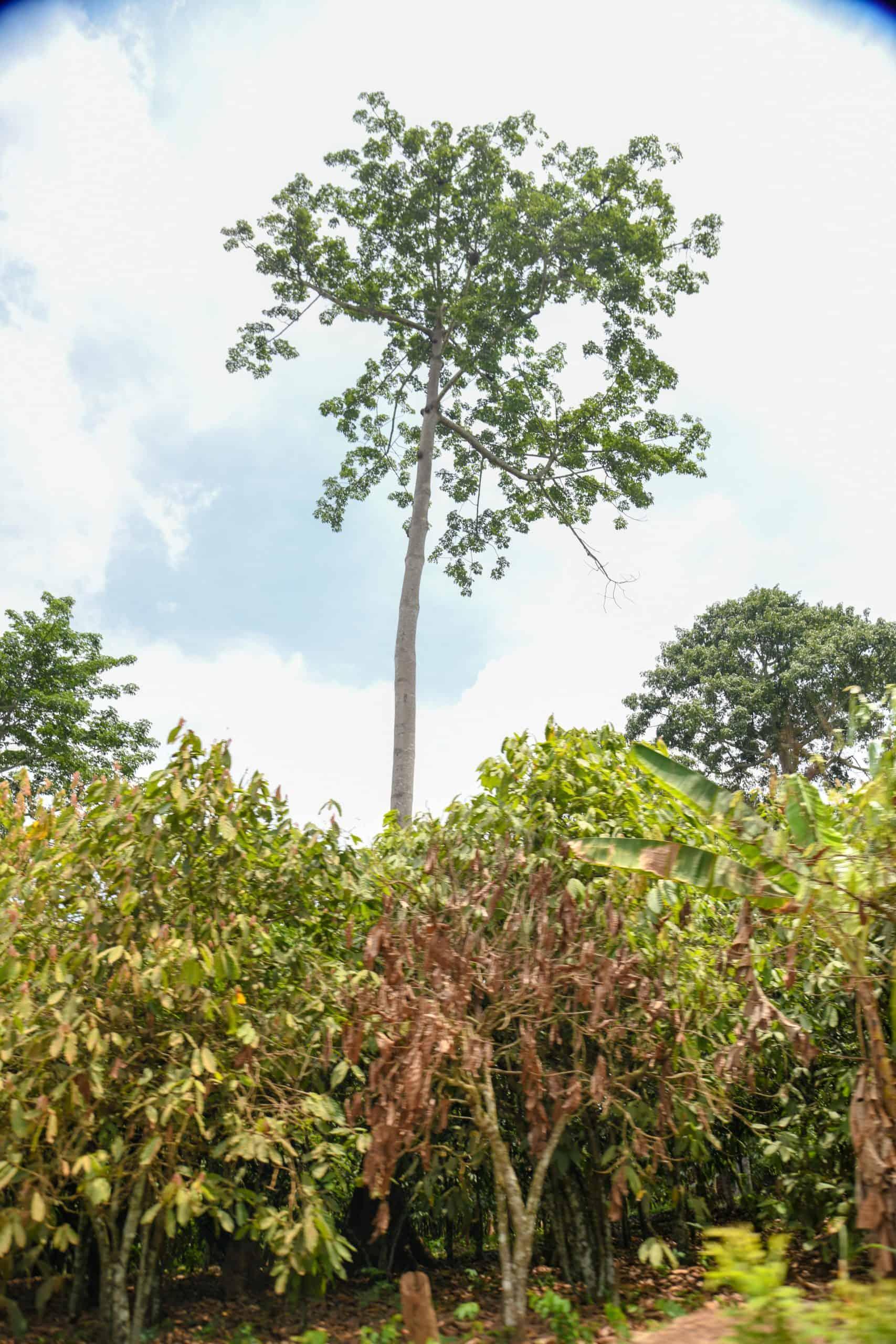 Agroforestry on a cocoa farm in Ghana