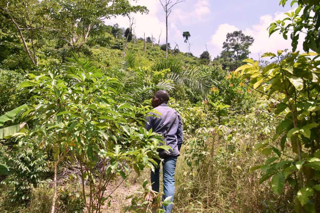 Sustainable cocoa farmer on cocoa farm in Cote dIvoire