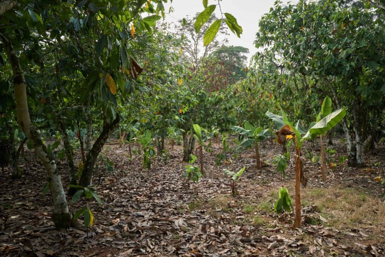 Young sustainable cocoa seedlings planted on an old cocoa farm in Ghana