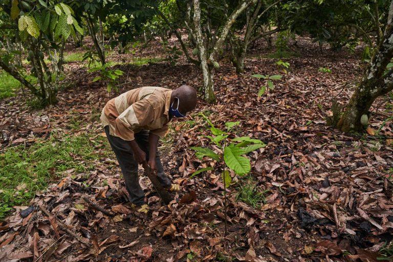 Cocoa farmer planting on a sustainable cocoa farm in Ghana