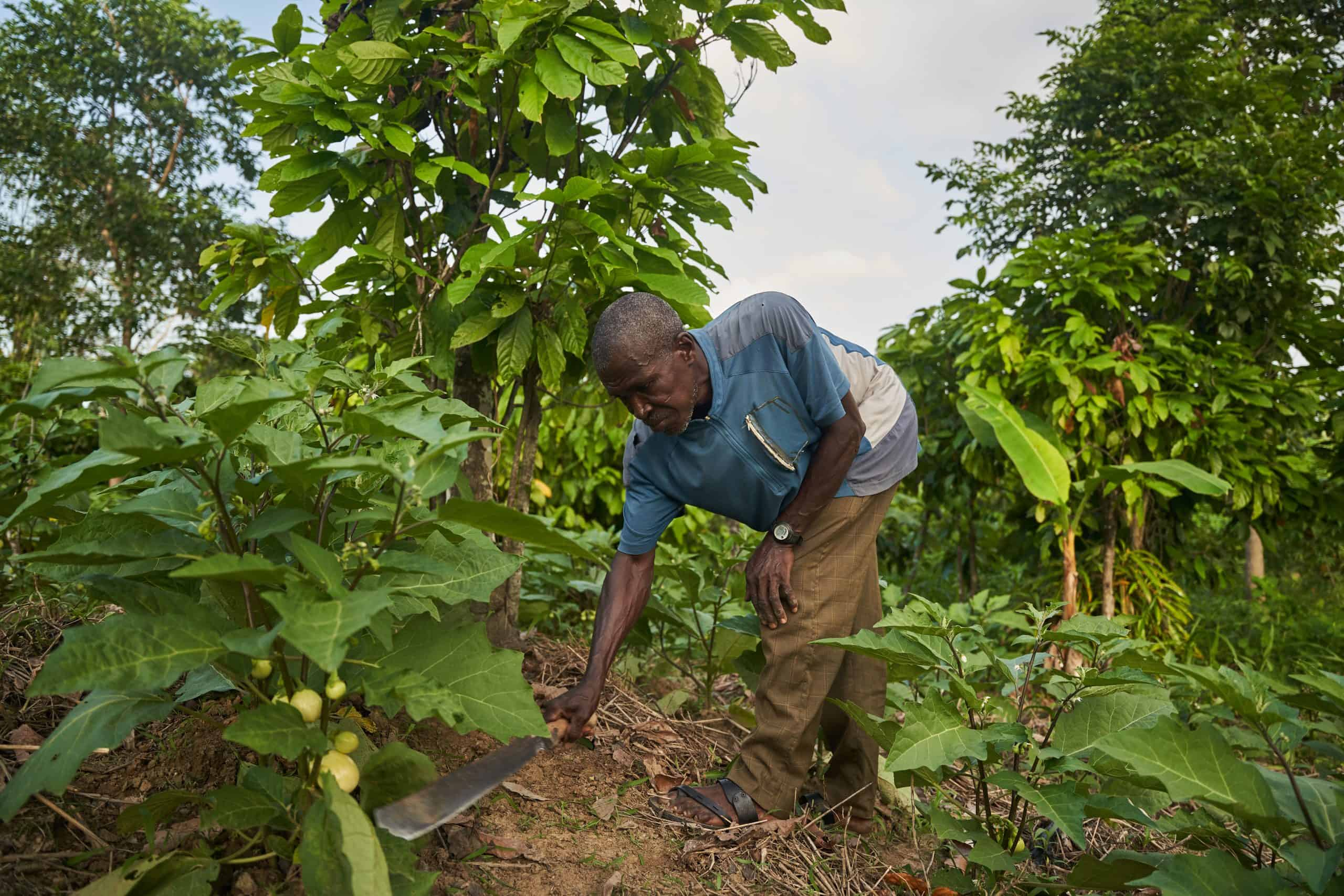 Farmer farming vegetables on sustainable cocoa farm in Ghana