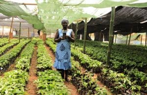 Sustainable woman cocoa farmer Portia Sani stands in cocoa seedling nursery holding sustainable cocoa tree