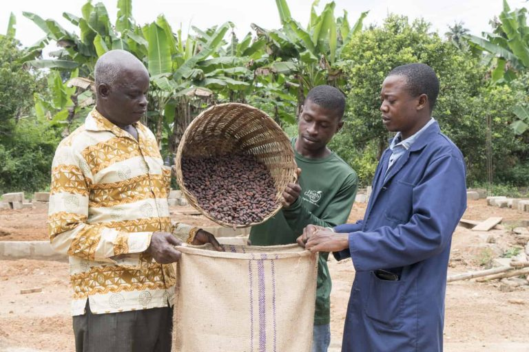 Sustainable cocoa beans poured into cocoa burlap sack by cocoa farmers in Ghana