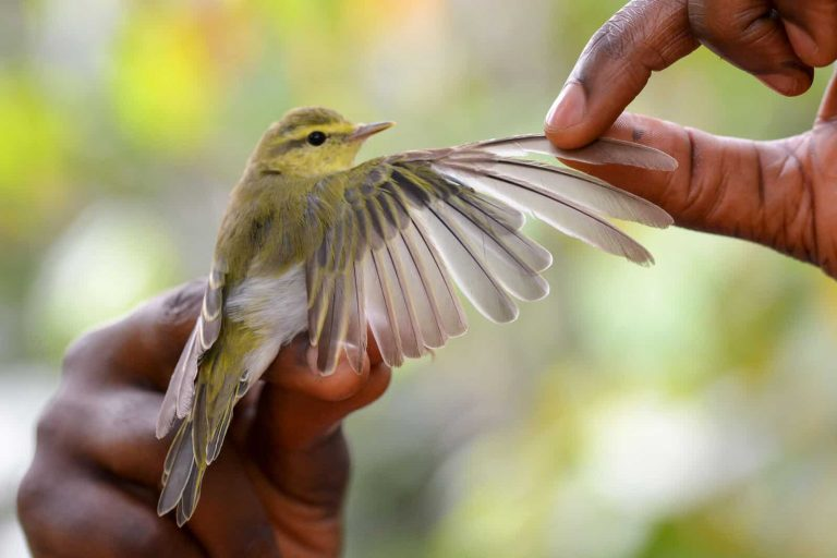 A molting Wood Warbler is posed with its wing outstretched during bird banding on a cocoa farm in Cameroon. Photo: Crinan Jarrett