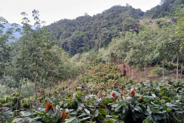 Shaded sustainable cocoa in Latin America