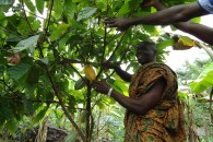 Cocoa Farmers 2 - First ECHOES Harvest