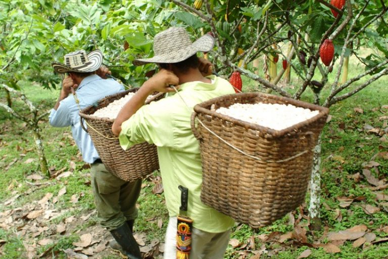 Cocoa Farmers 8 – Colombia opened pods on the way to fermentation
