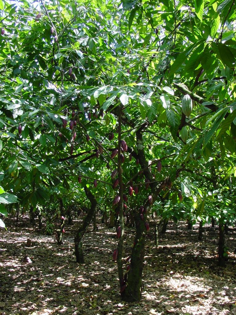 Cocoa Tree 9