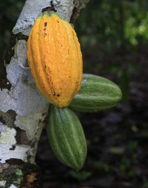 ©João Ramid (Courtesy of TNC) Sustainability, cocoa sustainability, sustainable cocoa, why is sustainability important, sustainability defined, sustainability movement, cocoa plant, cocoa bean, cacao, raw cacao, deforestation, what is deforestation
