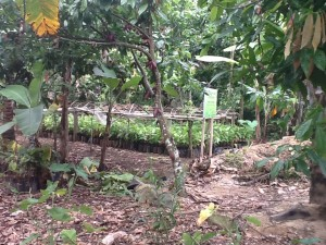 Funds Raised at WCF's 2011 Gala Support this Cocoa Seedling Nursery in Lampung Province, Indonesia
