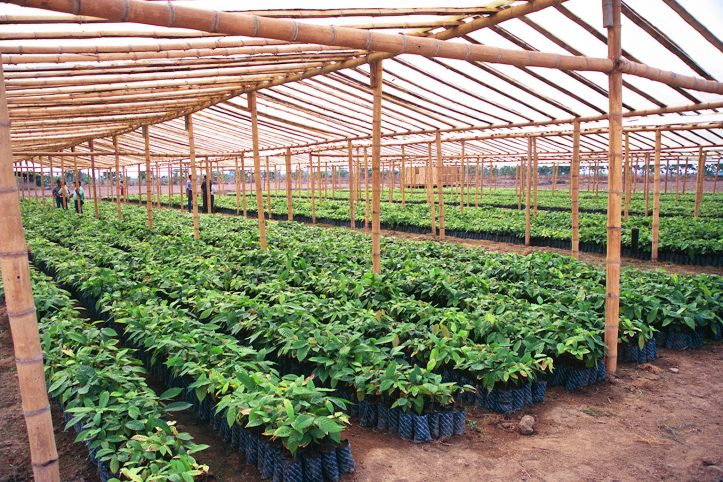 100,000 seedlings ready for grafting